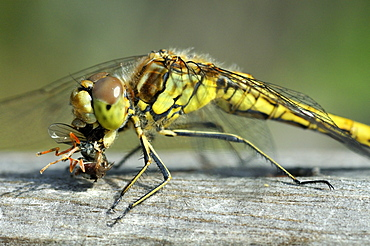 Orthetrum coerulescens, Keeled Skimmer female