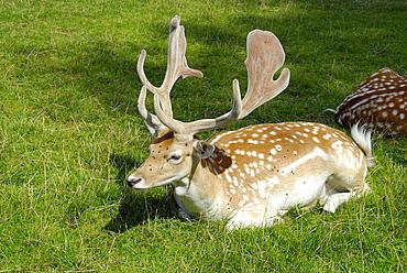 Cervus dama, Fallow Deer