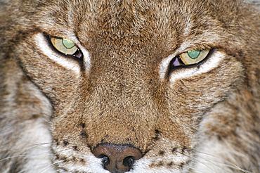Felis lynx, Lynx