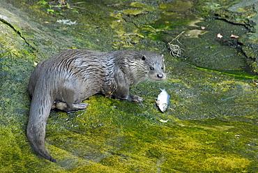Lutra lutra, European Otter