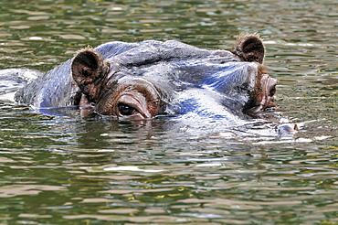 Hippopotamus amphibius, Hippopotamus