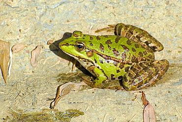 Rana sp, Frog