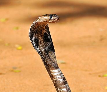 Naja naja, Indian Cobra