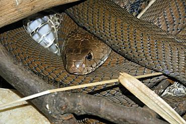 Naja mossambica, Mozambique Spitting Cobra