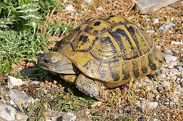 Testudo hermanni, Hermann's Tortoise
