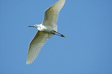 Egretta garzetta, Little Egret