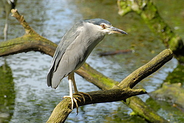 Nycticorax nycticorax, Black-crowned Night Heron