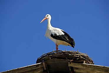 Ciconia ciconia, White Stork