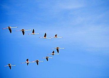 Flying flamingo, Sardinia, Italy, Europe