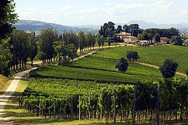Vineyards, Cantine Arnaldo Caprai, Montefalco, Umbria, Italy, Europe