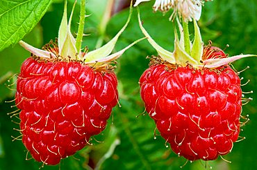 Raspberries fruits, Trentino Alto Adige, Italy, Europe