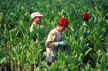 Tobacco pickers, Galatina, Lecce, Puglia, Italy