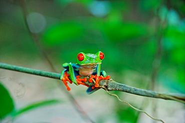 Frog Agalychnis callidryas, La Fortuna, Republic of Costa Rica, Central America