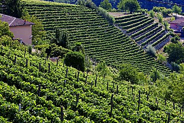 Moscato vineyards on the hills surrounding Canelli, Asti, Piedmont, Italy