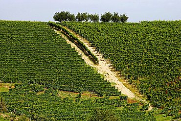 Moscato vineyards on the hills surrounding Canelli, Asti, Piedmont, Italy,Europe
