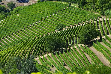 Moscato vineyards on the hills surrounding Canelli, Asti, Piedmont, Italy, Europe