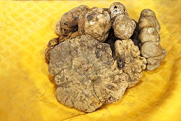 Moncalvo National Truffle Fair, a batch of white truffles (Tuber magnatum) , Asti, Piedmont, Italy, Europe