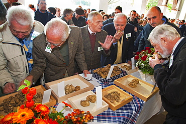 Moncalvo National  Truffle Fair,  evaluation of the white truffles (Tuber magnatum) entering the contest, Asti, Piedmont, Italy, Europe