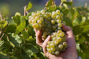 Vineyard La Source, Aymavilles, Aosta Valley, Italy, Europe