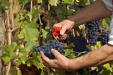 Vineyard La Source, St-Pierre, Aosta Valley, Italy, Europe
