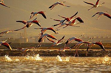 Flamingos, Capoterra lagoon, Cagliari, Sardinia, Italy, Europe