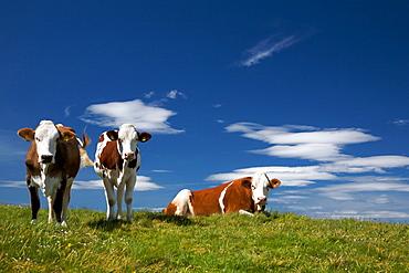 Cows grazing, Malga Lavachione, Lessini mountain, Trentino Alto Adige, Italy, Europe
