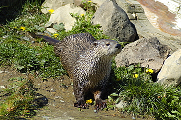North American River Otter, Lutra canadensis, South Coast, Gaspe peninsula, Quebec, Canada, North America
