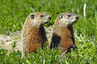 Groundhog, Marmota monax, East Coast, Gaspesie, Gaspe peninsula, Quebec, Canada, North America
