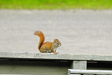 American Red Squirrel, Tamiasciurus hudsonicus, Jacques-Cartier National Park, La Cv¥te-de-Beaupre, Quebec, Canada, North America