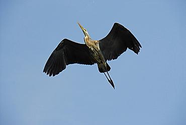 Great Blue Heron, Ardea herodius, Saint Lawrence River, Quebec, Canada, North America
