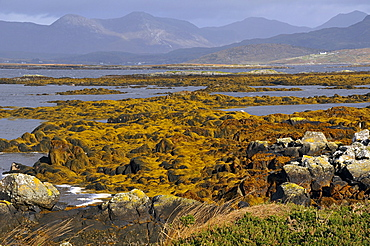 Low tide, Connemara, County Galway, Connacht, Republic of Ireland, Europe