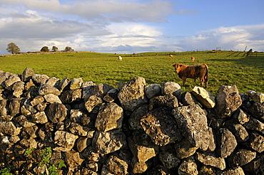 Breeding cow, Republic of Ireland, Europe