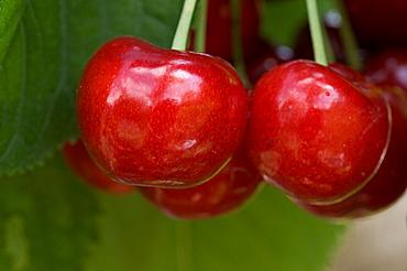 branch with cherries, Trentino, Italy, Europe