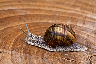 snail on a section of wood, Trentino, Italy, Europe