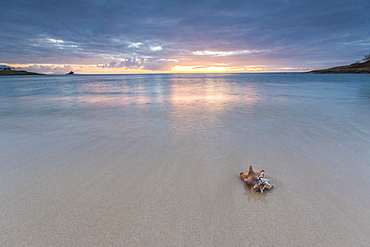 A seashell on the sand framed by the colors of Caribbean sunset Hawksbill Bay, Antigua and Barbuda, Leeward Islands, West Indies