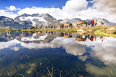 Hikers and cows on the shore of the lake where peaks and clouds are reflected, Bugliet Valley, Bernina, Engadine, Switzerland, Europe