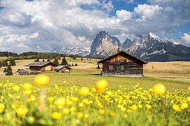 Alpe di Siusi/Seiser Alm, Dolomites, Alto Adige, Italy, Europe. Spring on the Alpe di Siusi with the peaks of Sassolungo/Langkofel and Sassopiatto / Plattkofel