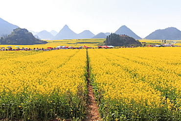Tourists walking among Rapeseed flowers fields of Luoping in Yunnan China. Luoping is famous for the Rapeseed flowers that bloom on early spring, China