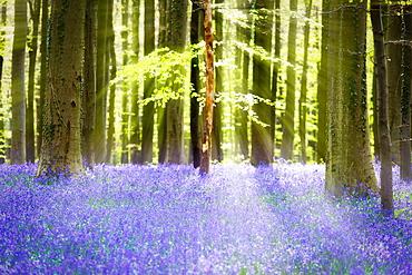 Beech forest full of blue bells flowers, Hallerbos, Halle, Vlaams Gewest, Brussels, Belgium, Europe