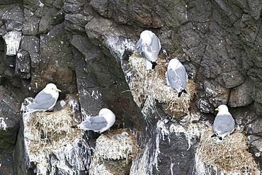 Black-legged kittiwake (Rissa tridactyla), colony in the cliffs of the island Mykines, part of the Faroe Islands in the North Atlantic. Europe, Northern Europe, Denmark, Faroe Islands