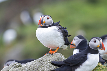 Atlantic Puffin (Fratercula arctica) in a puffinry on Mykines, part of the Faroe Islands in the North Atlantic, Denmark, Northern Europe