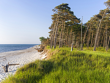 Coastal forest at the Weststrand  (western beach) on the Darss Peninsula. Western Pomerania Lagoon Area NP. Europe, Germany, West-Pomerania, June