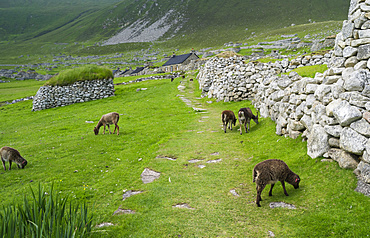 The islands of St Kilda archipelago in Scotland. Island of Hirta. Soay sheep a traditional and old breed of sheep unique to St. Kilda, now feral. It is one of the few places worldwide to hold joint UNESCO world heritage status for its natural and cultural qualities. Europe, Scotland, St. Kilda, July