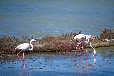 Flamingos; Is Solinas Beach, Masainas, Sardinia, Italy, Europe