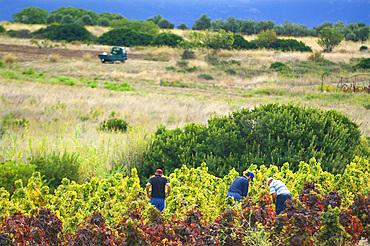 Harvest, Campidano, Cagliari, Sardinia, Italy, Europe