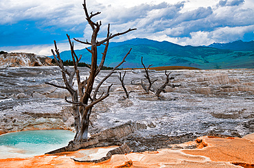 Mammoth Hot Springs with bare tree trunk in Yellowstone National Park, Wyoming.