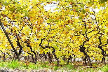 Meran wine, Merano, Trentino Alto adige, Italy.