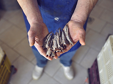 Preparation of anchovy sauce called Colatura di alici, a fish sauce for pasta typical of Cetara village, Amalfi Coast, Campania, Italy, Europe