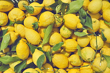 "Typical lemons of the Amalfi Coast called ""sfusato"" for the elongated shape.The typical yellow color of the lemon characterizes all the terraced gardens of the towns of the Amalfi coast, Campania, Italy, Europe"
