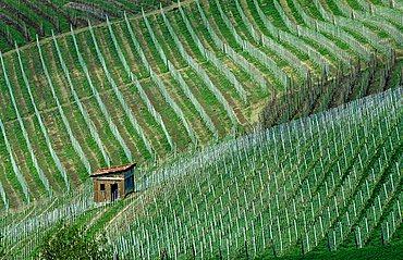 Vineyard, Treiso, Langhe, Piemonte, Italy